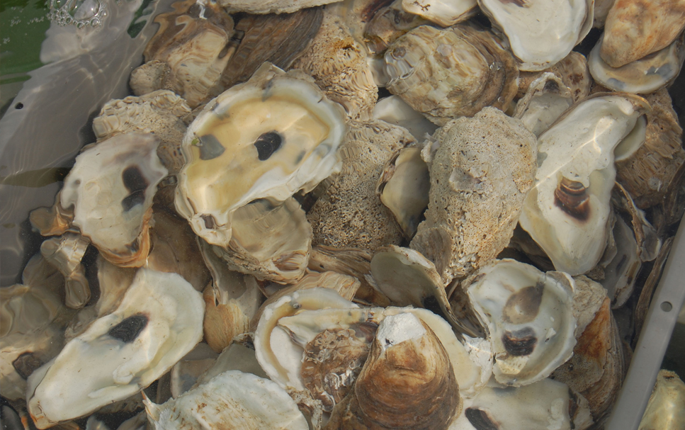 Marine Science Oysters
